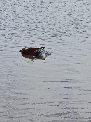 Mayat Perempuan Ditemukan Terapung Ditepian Sungai Rokan, Diduga Dibunuh